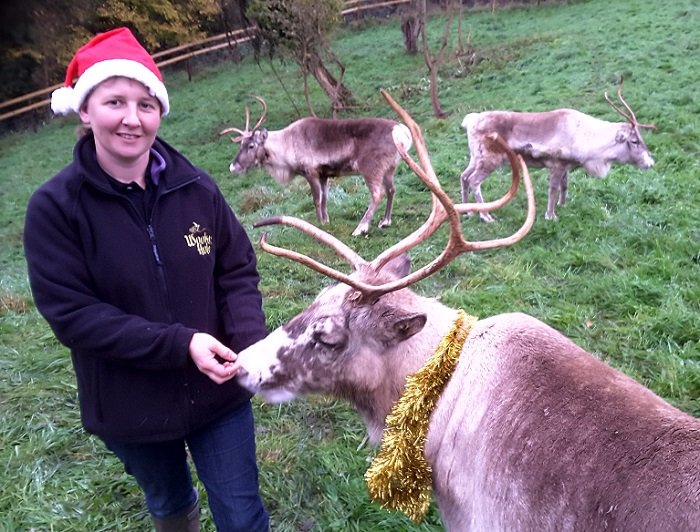 Reindeer ready for annual starring role